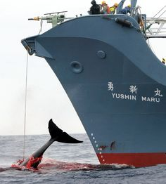 Japanese End to Whaling: Whale Wars Over For Good? Thank you Bob Barker