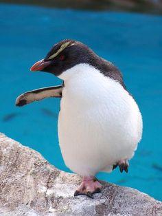 Eudyptes chrysocome / Pingüino Saltarrocas/ Rockhopper Penguin / Gorfou sauteur/Felsenpinguin