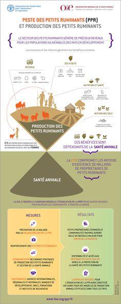 Peste des petits ruminants (PPR) et production des petits ruminants