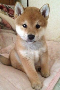 looks like a baby fox Cute Dogs And Puppies, I Love Dogs, Pet Dogs, Doggies, Poodle Puppies, Cute Funny Animals, Cute Baby Animals, Animals And Pets, Beautiful Dogs