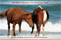 How did the wild ponies arrive at Assateague Island? Find out here: www.cbvacations.com/ads.asp?ref=728