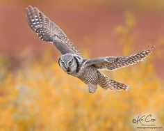 Northern Hawk Owl hunting in the Nome area of Alaska Vertebrates, Birds Of Prey, Bird Feathers, Animal Kingdom, Owls, Alaska, Hunting, Horses, Animals