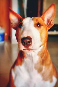 Beautiful Red Bull Terrier