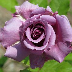 Rose,Secret Perfume,バラ,シークレット パヒューム,   by T.Kiya