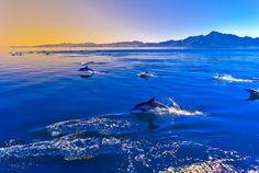 Pacífico Blanco Caras ~ Mar de Cortés ~ Baja California Sur