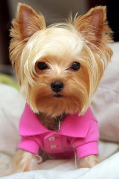 One day I will have a girl teacup yorkie :)