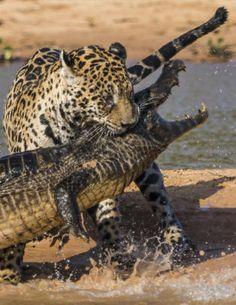 Her tar Mick Jaguar dødsgrepet på krokodillen