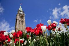 Extra tulip planting happens this fall in 140 communities and organizations selected to receive a Anniversary Dutch-Canadian Friendship Tulip Garden. Planting Tulips, Tulips Garden, Toronto Ontario Canada, Garden Seeds, Organic Gardening, Big Ben, The Selection, Bloom, Community