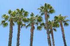 Palm Tree Top Serbagunamarine against the bright blue sky #California