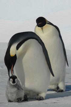 Cute Baby - Emperor penguins, Antarctica