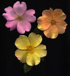 Still-Life Of Garden Roses, 42-38652550, Fotochannels