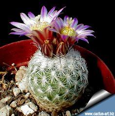gymnocactus subterraneus v.zaragosae - Поиск в Google