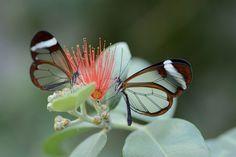 この親にしてこの子あり?蝶と蛾のお子さんと親御さんの比較画像(昆虫注意)