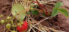 Erdbeeren überwintern im Garten und auf dem Balkon