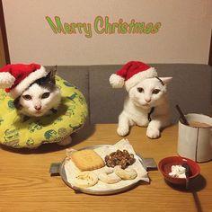 naomiuno Merry Christmas 🎄 #夜中にこっそり おやつタイム☆ @terreverte_opera のソシソンフリュイは、オススメのクリームチーズをぬりぬりして♩ #クリスマス #八おこめ #ねこ部 #cat #ねこ #八おこめ食べ物 #八おこめズラ  2016/12/24 00:36:12
