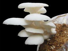 Cara Budidaya Jamur Tiram Putih dengan Baik dan Menguntungkan