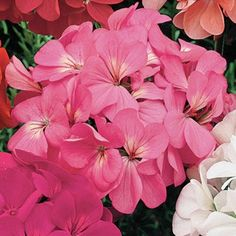 Geranium Orbit Pink in The Big Seed Book from Park Seed on shop.CatalogSpree.com, my personal digital mall.