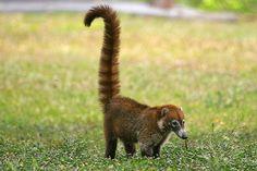 Cute coati - you may see them when visiting the Mayan Riviera.