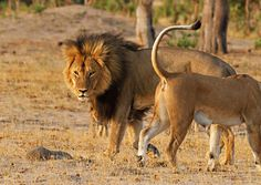 10 Majestic Photos of Cecil: The real Lion King