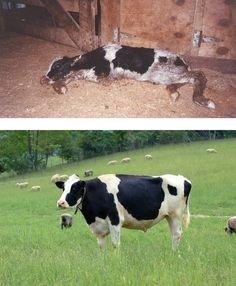 Embedded image permalink how's this for a before and after? Life on a dairy farm vs life in a sanctuary.