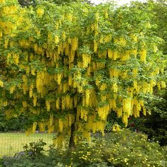 Laburnum anagyroides - 1 tree Buy online order yours now