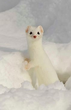 Ermine. Pretty much love the whole weasel family.