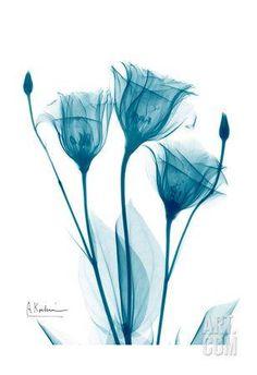 Art Print: Three Gentian in Blue Art Print by Albert Koetsier by Albert Koetsier : Xray Flower, Flower Art, Watercolor Flowers, Watercolor Paintings, Contrast Art, High Contrast, Beautiful Flower Tattoos, Blue Art, White Art