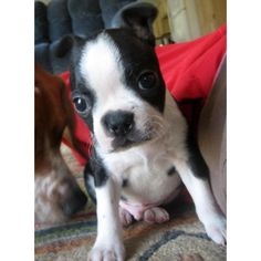 Otis the Boston Terrier | Puppies | Daily Puppy ❤ liked on Polyvore featuring animals and puppies