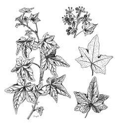 Australian Botanical Illustration  ::  Hedera helix