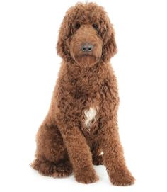 Image of standard goldendoodle Goldendoodle Full Grown, Standard Goldendoodle, Labradoodle, Free To Use Images, High Quality Images, Pup, Teddy Bear, Animals, Animales