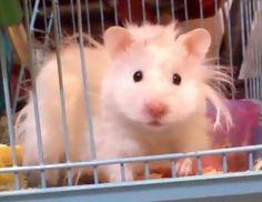 Mi Hamster Teddy Bear  saliendo de su jaula