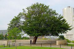 The Survivor Tree -- OKC Memoria
