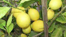 Комнатный лимон сбросил листья.  Как помочь. Чем мульчировать почву. Small Farm, Orchids, Fruit, Health, Garden, Youtube, Diy, Clothes, Outfits