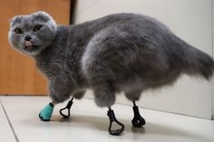 Adorable cat ravaged by frostbite is given a new lease of life by an innovate vet who gave her FOUR prosthetic paws out of titanium Clean Funny Pictures, Cute Pictures, Animal Pictures, Sphynx, Les Parasites, Russian Cat, 3d Laser Printer, Kitty Images, Cats For Sale