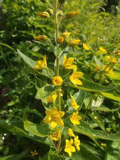 Ranta-alpi-- Lycimachia vulgaris Forest Flowers, Wild Flowers, Sea Plants, Botany, Finland, Flora, Scenery, Herbs, Garden