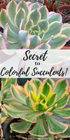 Have you ever bought a wonderfully colorful succulent - only to have it turn dull and green? Learn ALL about the secret to colorful succulents - and how to make any succulent more colorful!  #succulents #colorfulsucculents #succulentstress #succulentcare