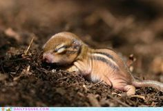 Ssshhhh… this li'l chipmunk is sleeping. He needs lots of rest to grow up big and strong.
