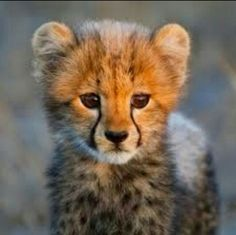 Cachorro de guepardo