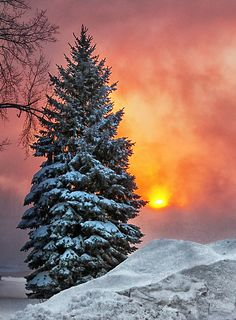 Evergreen and a winter sunrise