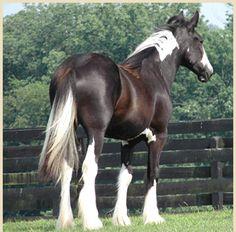 gypsy vanner mare from gypsyvanner.com