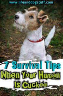 7 Survival Tips When Your Human Is Cuckoo. | Life and Dog Stuff. dog humor | dog lovers | dog mom | dog memes | funny dogs.  #dogs #doglovers #dogmom #doghumor #dogstuff #humor #funny #crazydoglady #dogblog #blogpost #pets #puppy