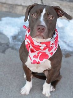 Brooklyn Center LULU - A1026501 FEMALE, BROWN / WHITE, PIT BULL MIX, 8 mos OWNER SUR - EVALUATE, NO HOLD Reason ALLERGIES Intake condition EXAM REQ Intake Date 01/28/2015 Main Thread: https://www.facebook.com/photo.php?fbid=954657001213846