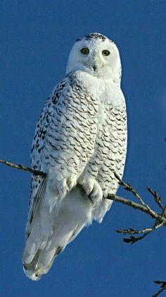 Perched Snowy Owl