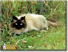 Read Cora the Seal Point Himalayan's story from Bothell, Washington and see her photos at Cat of the Day http://CatoftheDay.com/archive/2010/July/22.html .