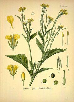 Brassica juncea Hook fil. Et Thoms.,  Chinese mustard - Medicinal Botanical Plants