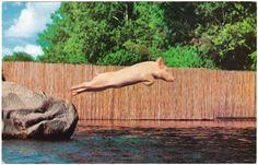 Ralph the Swimming Pig, Aquarena Springs, San Marcos