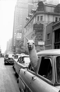 ok its a Llama but I have a piccy of my alpacas to go with it in a London Taxi too! A Llama in Times Square, By Inge Morath // Magnum Photos Magnum Photos, Alpacas, Iconic Photos, Old Photos, Legendary Pictures, Share Photos, Serge Le Lama, Street Photography, Art Photography
