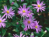 Aster x frikartii, Wunder von Stafa, is an herbaceous perennial, with dark foliage and light violet, yellow centered flowers. Its daisy like flowers bloom in late summer and autumn in a sunny site.