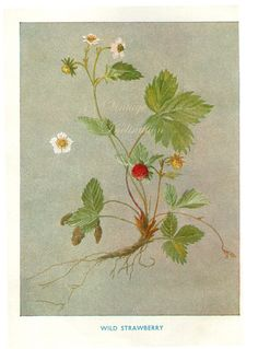 Vintage Botanical Print Antique WILD от VintageInclination на Etsy, $8.00