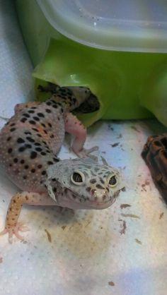 "Leopard gecko ""Teto"""